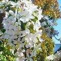 リンゴの花が満開