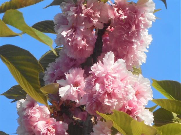 今年のフィナーレを飾る八重桜「関山」(かんざん)@千光寺山