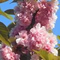 写真: 今年のフィナーレを飾る八重桜「関山」(かんざん)@千光寺山