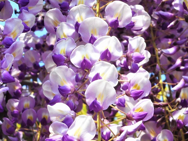 フジの花が満開@瑠璃山周辺