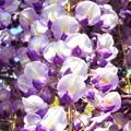 写真: フジの花が満開@瑠璃山周辺