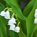 キュートなスズランの花@浄土寺山周辺