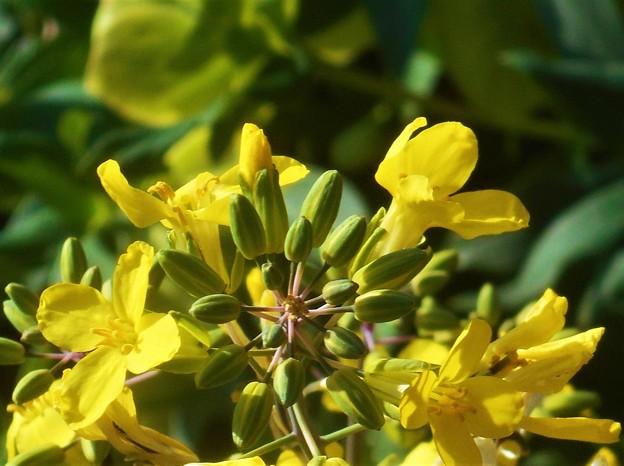 陽春の候に 葉牡丹(はぼたん)の花@三原城址周辺