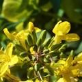 Photos: 陽春の候に 葉牡丹(はぼたん)の花@三原城址周辺