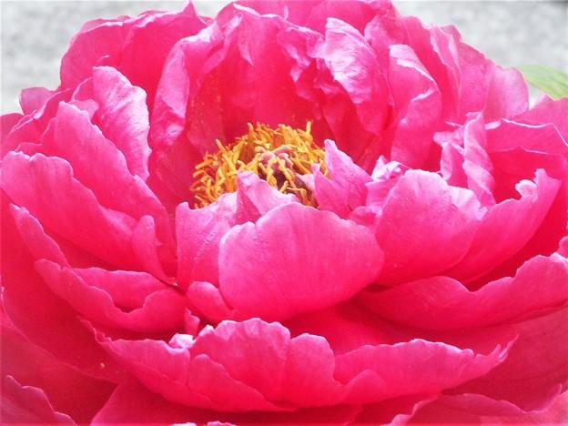 艶やかに咲く 緋牡丹(ひぼたん)の大輪@三原城址周辺