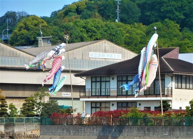 港まつりの 鯉のぼり@尾道水道・向島@日立造船・向島工場