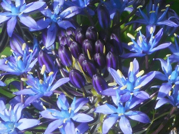 GWのキリスト教会の庭に咲く@シラーの小花たち