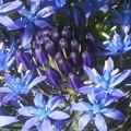 写真: GWのキリスト教会の庭に咲く@シラーの小花たち