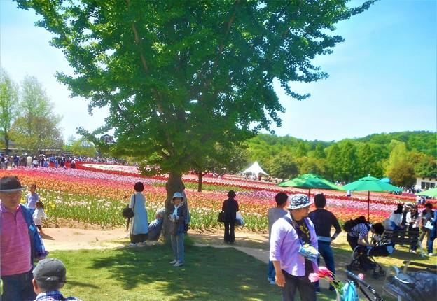 五月晴れのチューリップ祭@GWの世羅高原