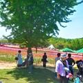写真: 五月晴れのチューリップ祭@GWの世羅高原