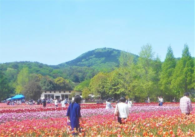 五月晴れのチューリップ畑@GWの世羅高原