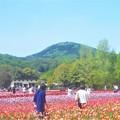 写真: 五月晴れのチューリップ畑@GWの世羅高原