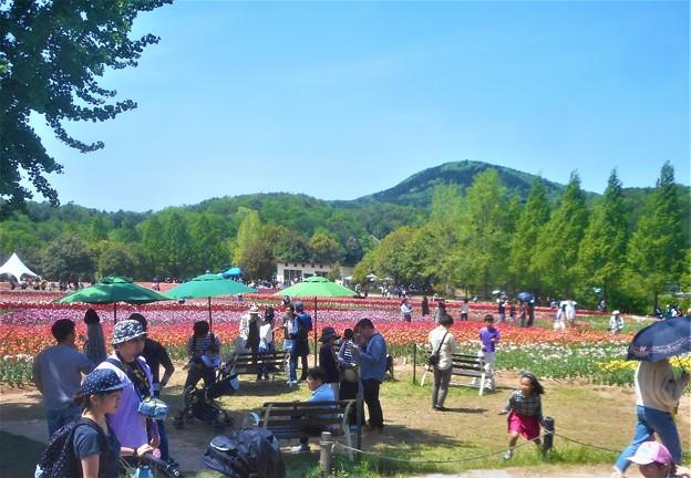 GWの観光農園@世羅高原チューリップ畑