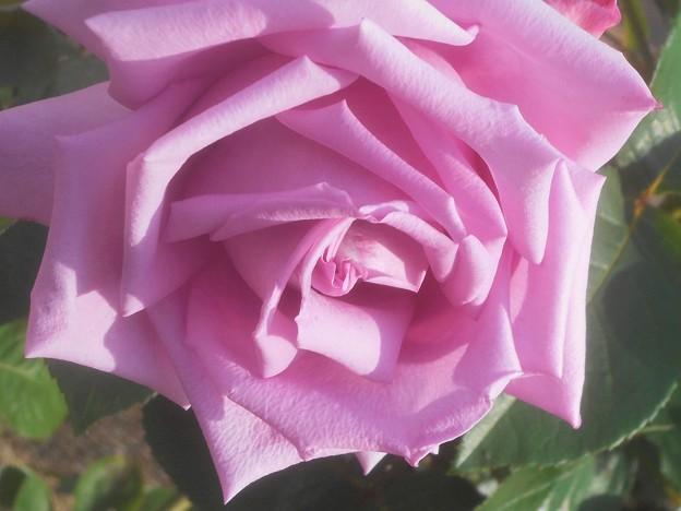 風薫る五月の薔薇「マダム・ビオレ」@福山ばら祭2018(準備中)