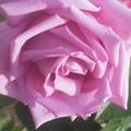 写真: 風薫る五月の薔薇「マダム・ビオレ」@福山ばら祭2018(準備中)