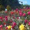 ばら花壇の薔薇たち@福山ばら祭2018(只今準備中)
