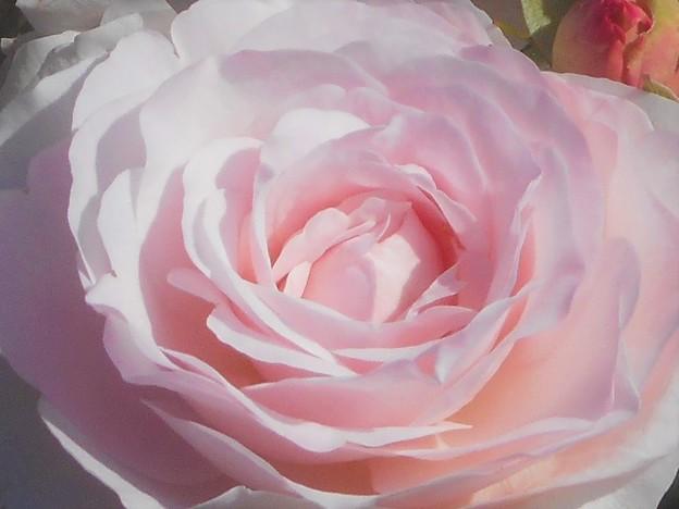 爽やかな五月の薔薇@ばら公園