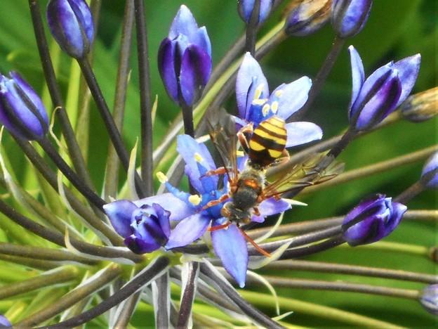 シラーの花にキュートなハチくん@びんご運動公園