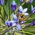 写真: シラーの花にキュートなハチくん@びんご運動公園