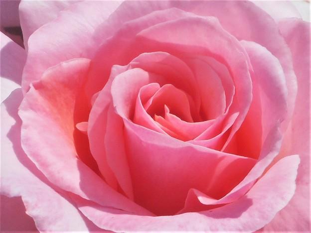 風薫る五月の薔薇@緑町公園会場