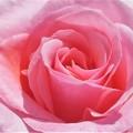 写真: 風薫る五月の薔薇@緑町公園会場
