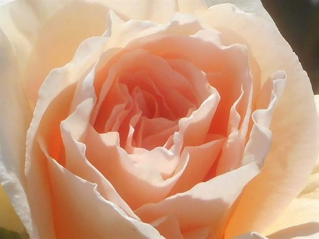 """写真: 初夏の薔薇""""バイ アポイントメント""""@ばら公園会場"""