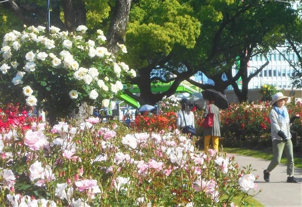 バラ色の散歩道@ばら公園会場(準備中)