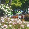写真: バラ色の散歩道@ばら公園会場(準備中)