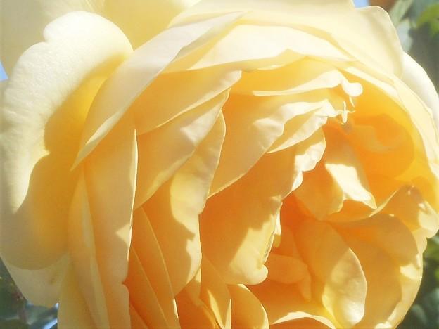 黄色い薔薇@ばら公園会場(準備中)
