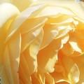 写真: 黄色い薔薇@ばら公園会場(準備中)