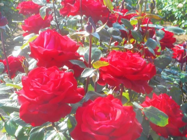 Photos: 深紅の薔薇の花@ばら公園会場(準備中)