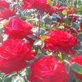 写真: 深紅の薔薇の花@ばら公園会場(準備中)