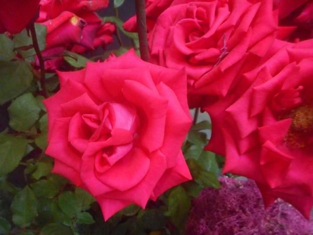 ニコライ バーグマンの紅い薔薇@デンマーク出身のフラワーアーチスト