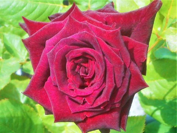 """くすんだ紅い薔薇 """"ルイ14世""""@緑町会場@福山ばら祭"""