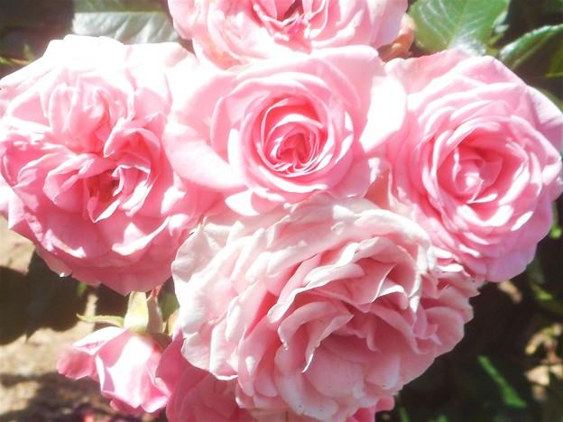 ローズパレードの沿道に咲く薔薇@緑町公園会場@福山ばら祭