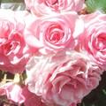 ローズパレードの沿道に咲く薔薇@緑町公園@福山ばら祭
