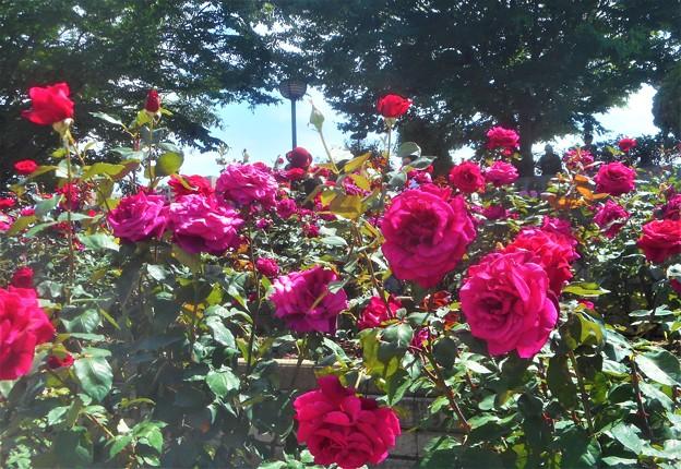 ローズヒルの紅い薔薇@緑町公園@福山ばら祭