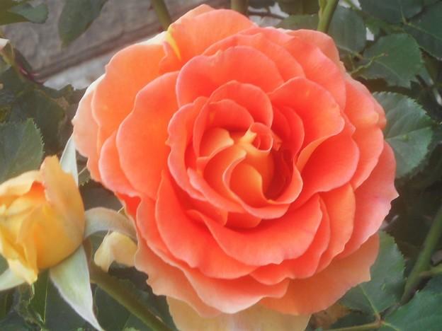 """おしゃれな薔薇 """"カフェ""""@緑町公園@福山ばら祭"""