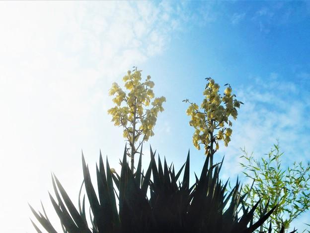 白い花とウロコ雲@キミガヨラン