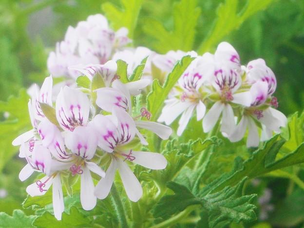 カトリソウの花が満開