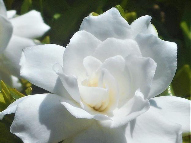 梅雨の晴れ間の備後路に@甘い香りの梔子(くちなし)の花