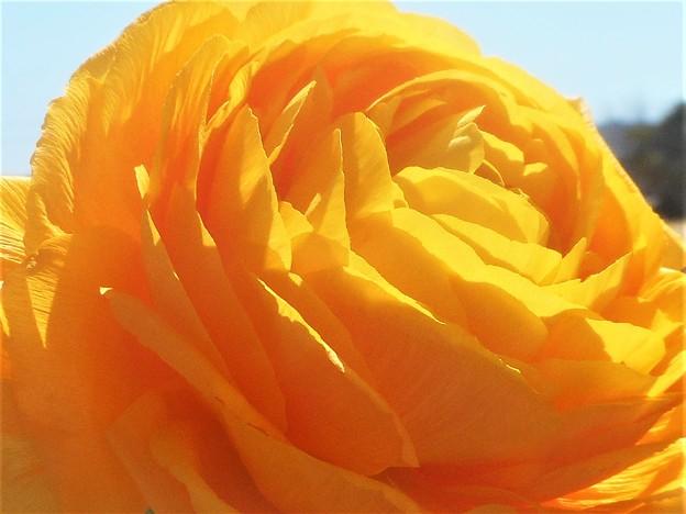 3月中旬のラナンキュラスの花(イエロー)