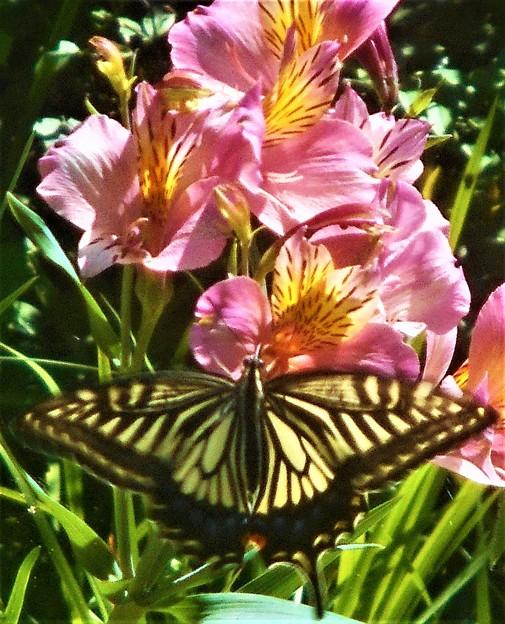 アルストロメリアの花と 顔面に見えるアゲハチョウ@浄土寺山
