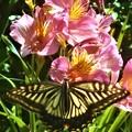 写真: アルストロメリアの花と 顔面に見えるアゲハチョウ@浄土寺山