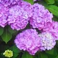 梅雨に咲く花@新高山のアジサイ