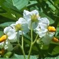 馬鈴薯(ばれいしょ)の花@瑠璃山