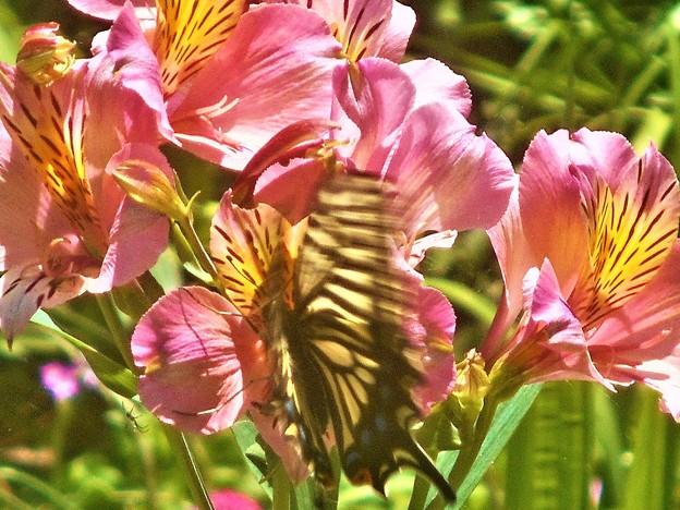 よく見れば アゲハチョウ@アルストロメリアの花@浄土寺山
