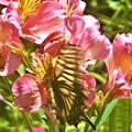 よく見たら アゲハチョウ@アルストロメリアの花@浄土寺山