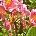 写真: よく見れば アゲハチョウ@アルストロメリアの花@浄土寺山