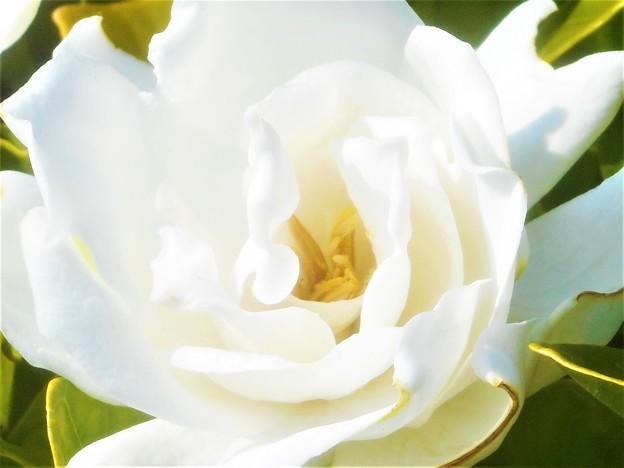 くちなしの白い花@梅雨の晴れ間